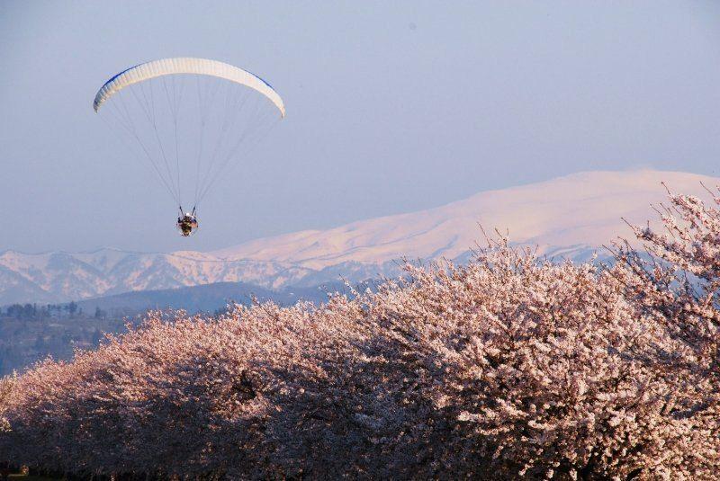 月山と桜とパラグライダー